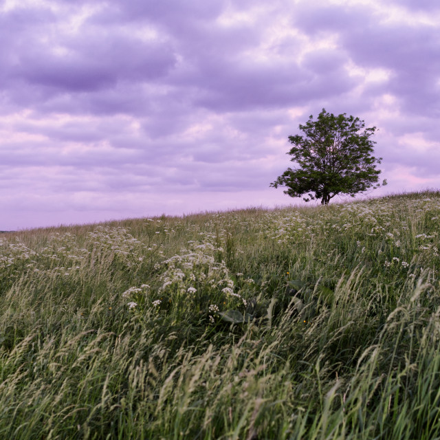 """""""Tree in a field against pink sky"""" stock image"""