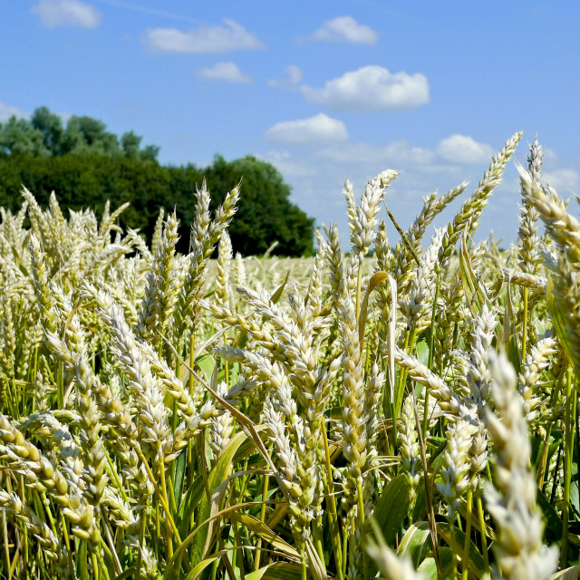 """""""Field of wheat and horizon in the summer"""" stock image"""