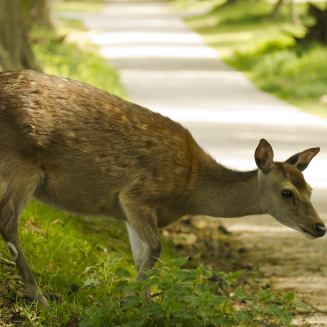 """Roe deer crossing"" stock image"