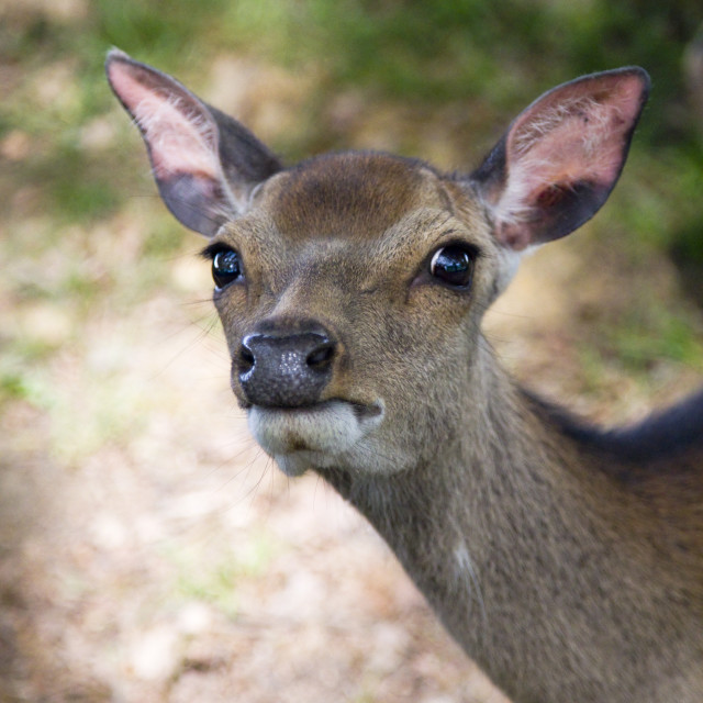 """Young deer staring"" stock image"