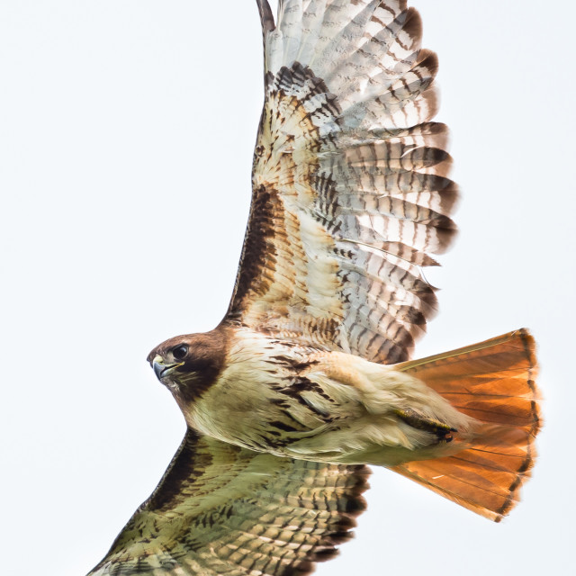 """Red-tailed Hawk"" stock image"