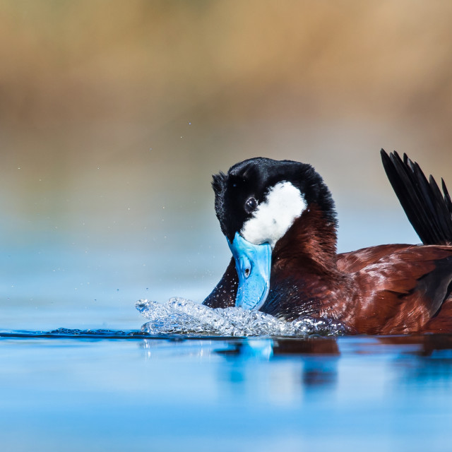 """Ruddy Duck"" stock image"