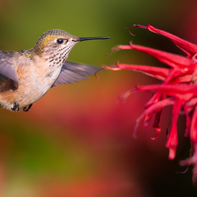 """Hummingbird"" stock image"