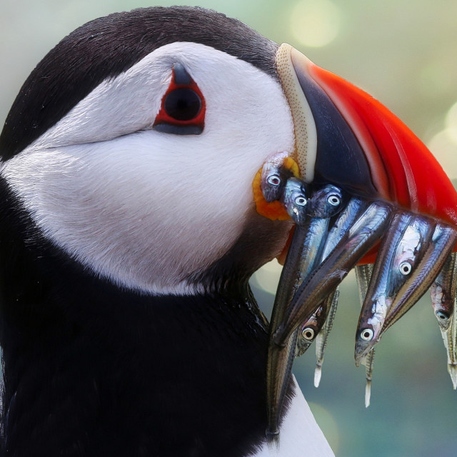 """""""Atlantic Puffin with Sandeels"""" stock image"""
