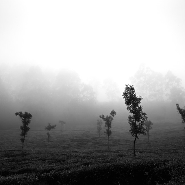 """Light, Mist and Trees - Study 1"" stock image"