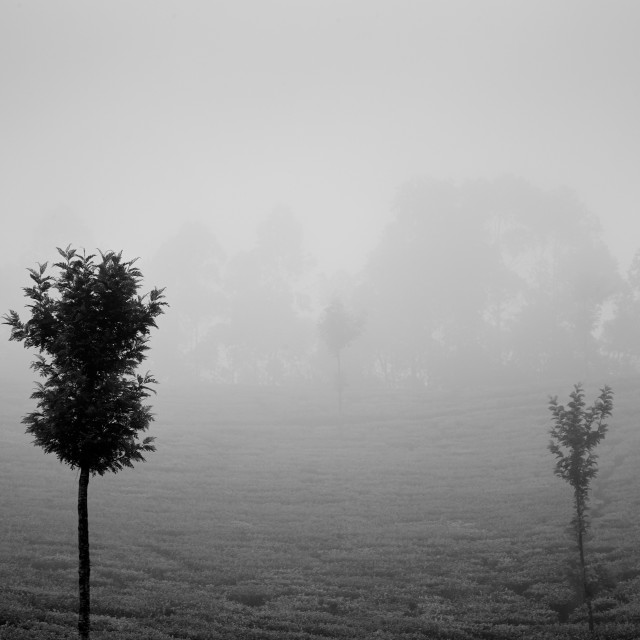 """Light, Mist and Trees - Study 3"" stock image"