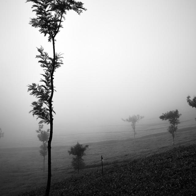 """Light, Mist and Trees - Study 2"" stock image"