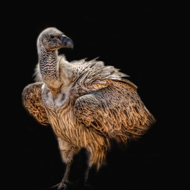 """Voracious Vulture"" stock image"