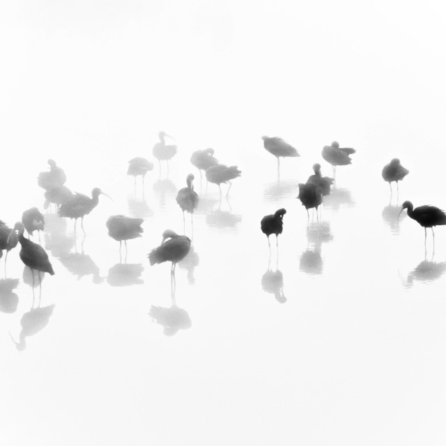 """""""Glossy Ibis in the fog"""" stock image"""