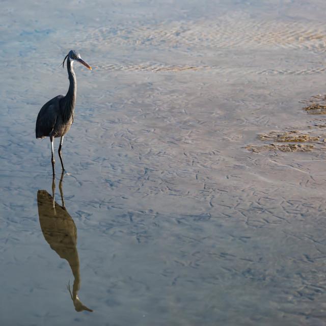 """""""Western reef heron"""" stock image"""