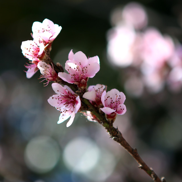 """Cherry blossom"" stock image"