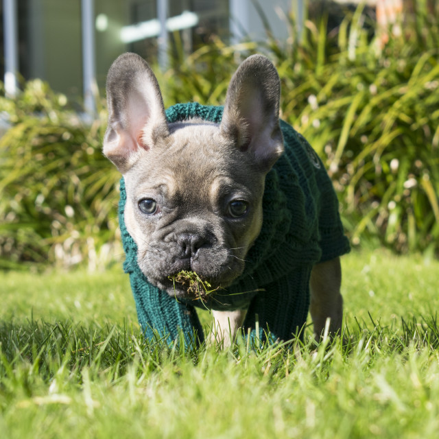 """French Bulldog Puppy"" stock image"