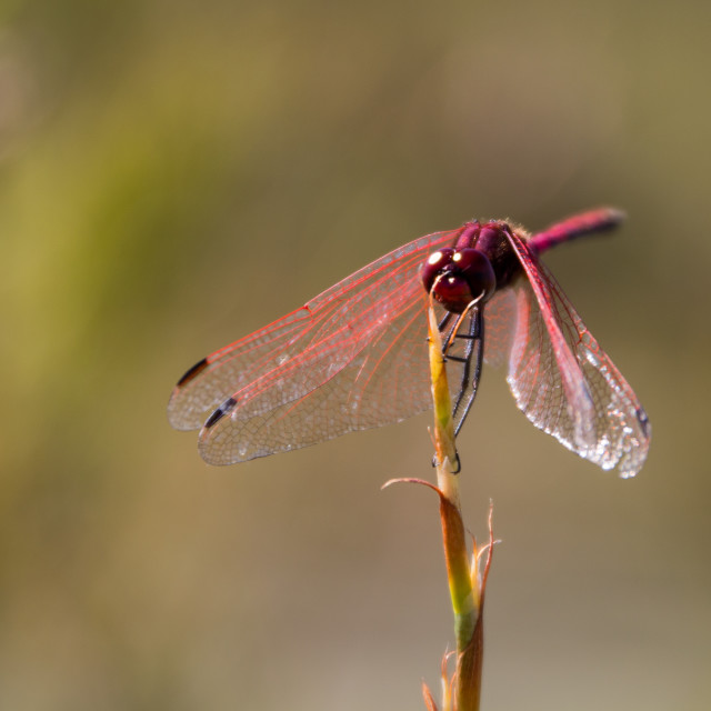 """Red coloured dragonfly sitting on a twig"" stock image"