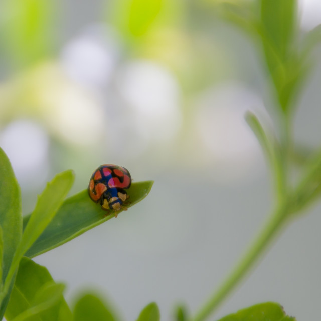"""Closeup of a ladybug on a leaf"" stock image"