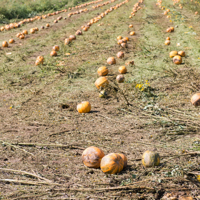 """Field of pumpkins"" stock image"