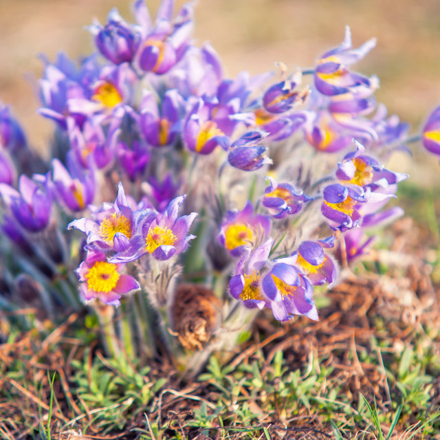 """""""Large group of sunlit pulsatilla flowers in a wild"""" stock image"""