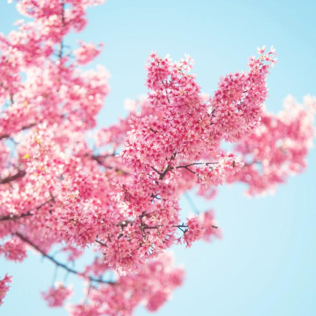"""Branch of Pink Prunus tree in bloom. Selective focus"" stock image"