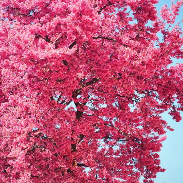 """Abundant rich pink bloom of Prunus tree"" stock image"