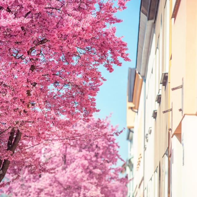 """Part of Blooming Pink Prunus tree against building in perspectiv"" stock image"