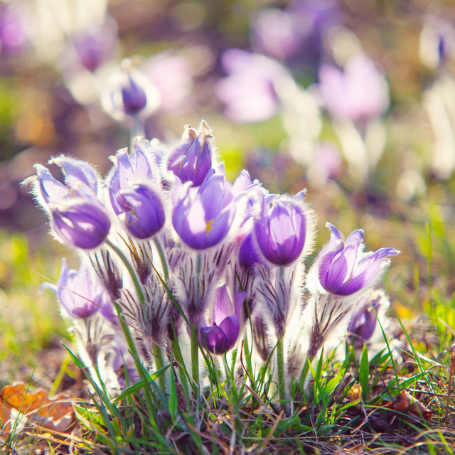 """""""Group of sunlit pulsatilla flowers in a wild"""" stock image"""