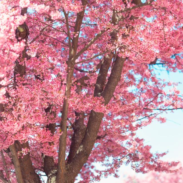 """Part of Pink Prunus tree in abundant bloom iwith bark"" stock image"