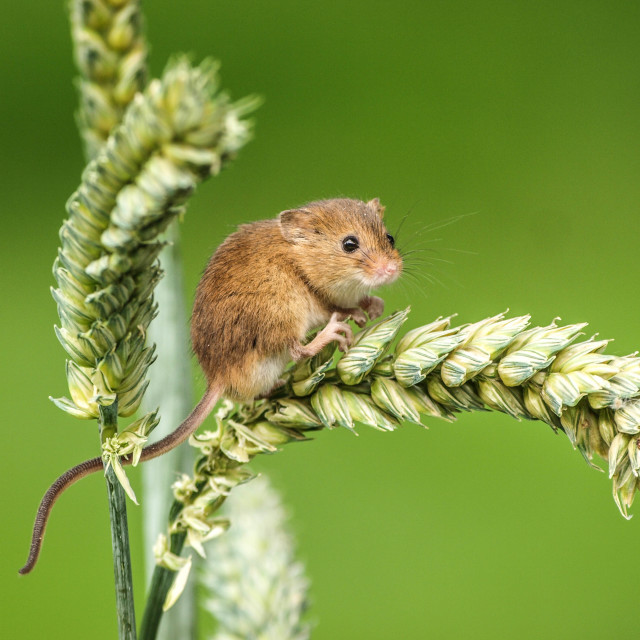 """The Harvest Mouse"" stock image"