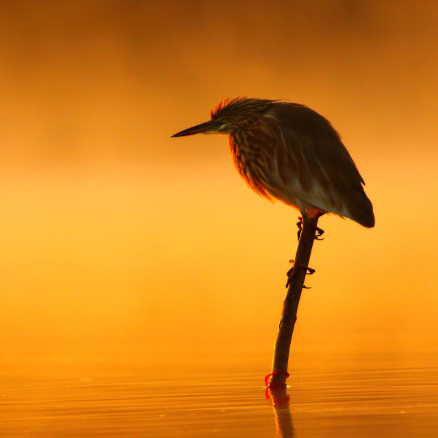 """Indian pond heron At Sunrise"" stock image"