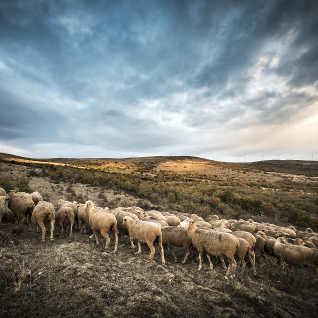 """""""sheeps in the countryside of Soria in Spain"""" stock image"""