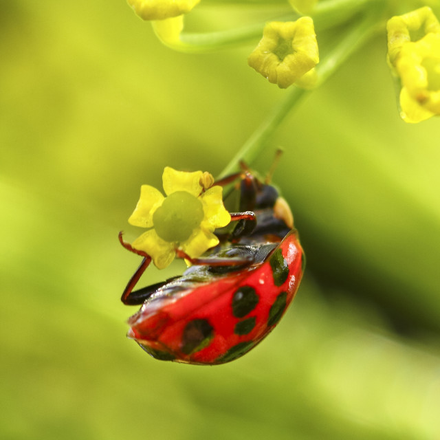 """""""Ladybird clinging to a flowering parsnip plant"""" stock image"""