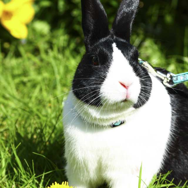 """""""Close up of a young dutch rabbit"""" stock image"""