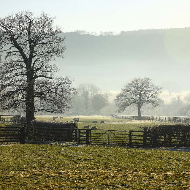 """""""Field containing sheep on a misty winters day"""" stock image"""