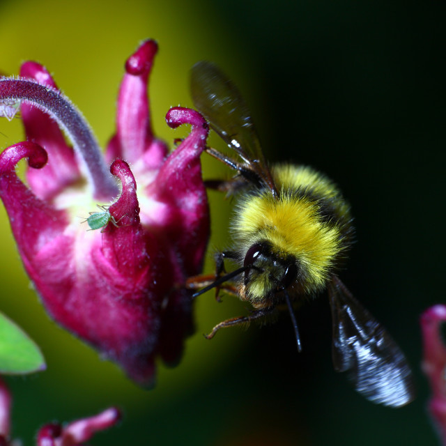 """""""Bumble bee in flight after pollinating an aquilegia flower"""" stock image"""