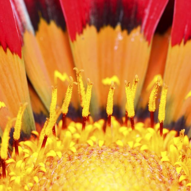 """Close up of a gazania flower head"" stock image"