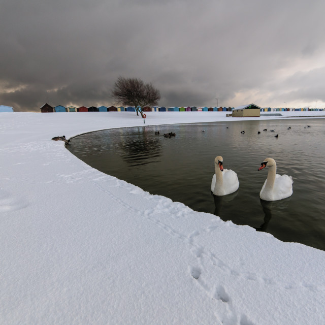 """Harwich Swans And Winter Snow"" stock image"