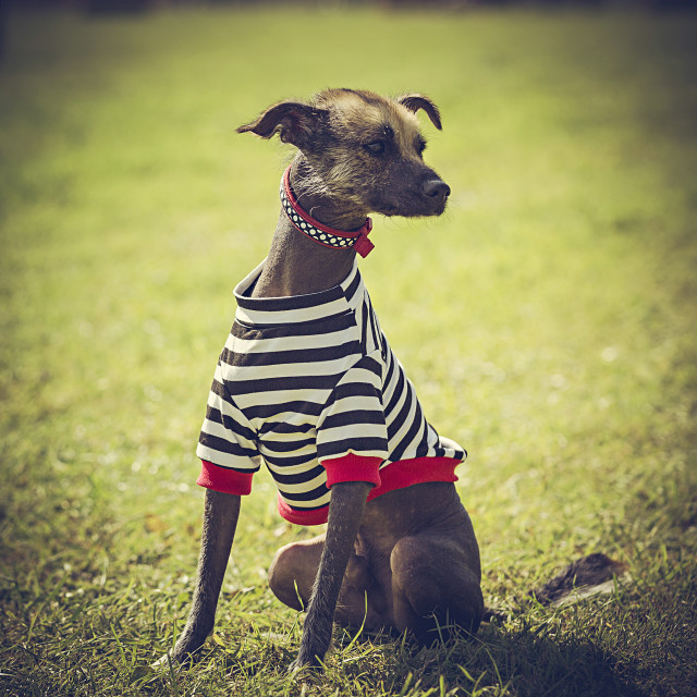 """""""Dog in a striped top"""" stock image"""