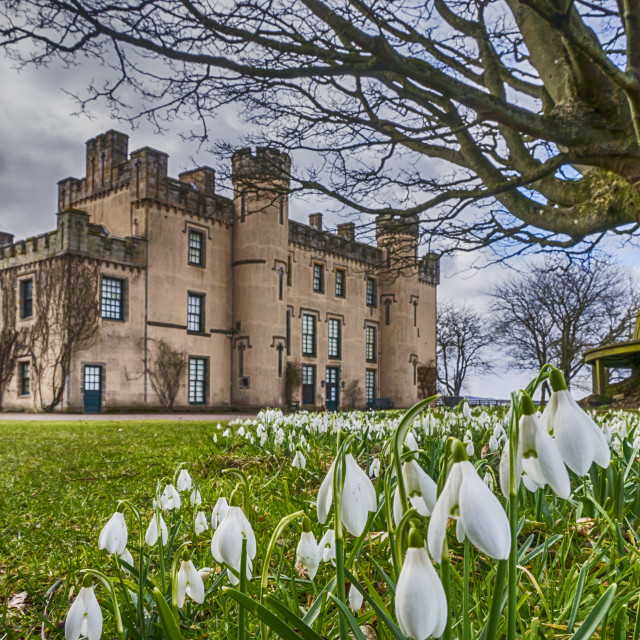 """""""Snowdrops at the House of the Binns"""" stock image"""