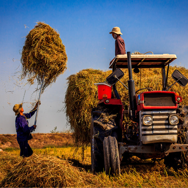 """""""Transfer straw to the trailer"""" stock image"""