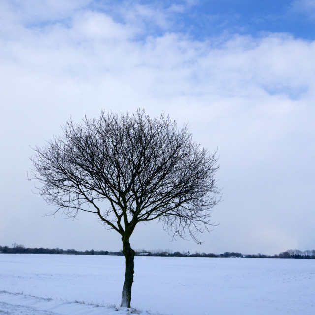 """""""Small Oak in the snow."""" stock image"""