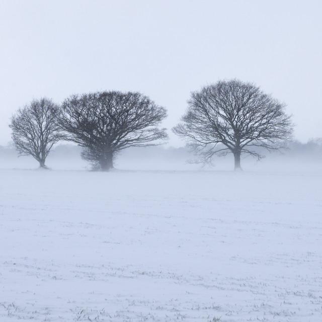 """""""Oaks in a snowy landscape."""" stock image"""