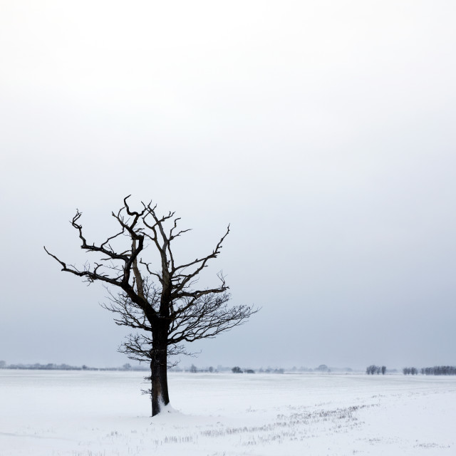 """""""Lone, dead tree in the snow."""" stock image"""