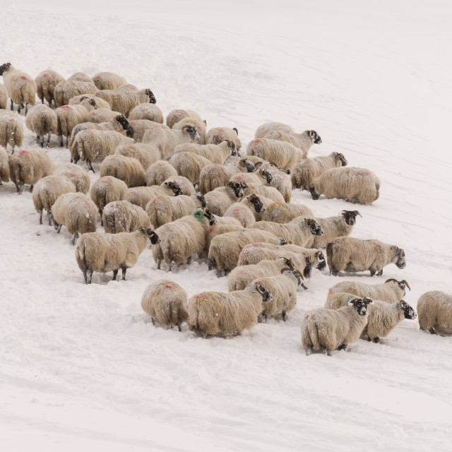 """Winter Sheep"" stock image"