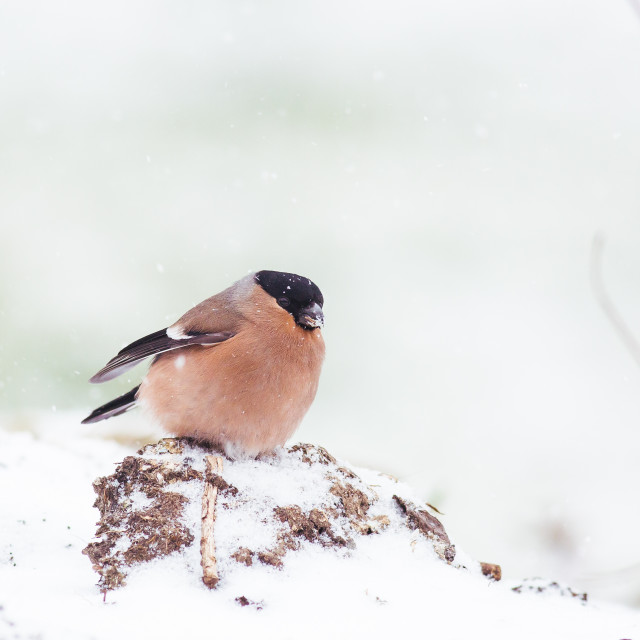 """Female Bullfinch"" stock image"