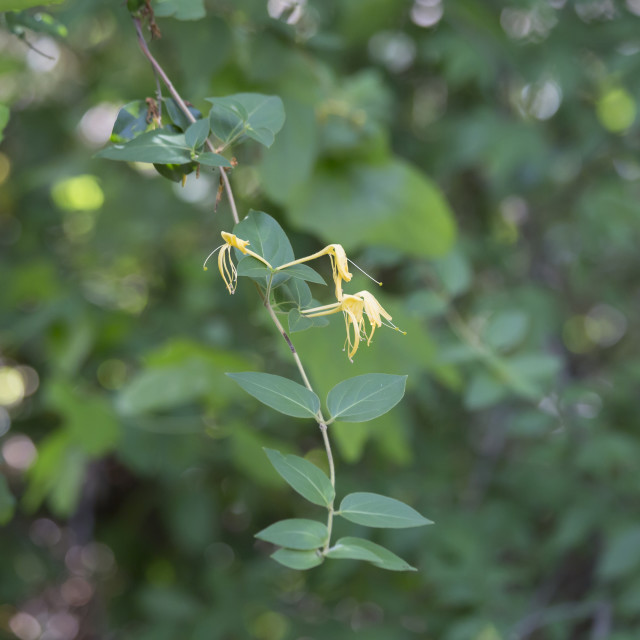 """Honeysuckles"" stock image"