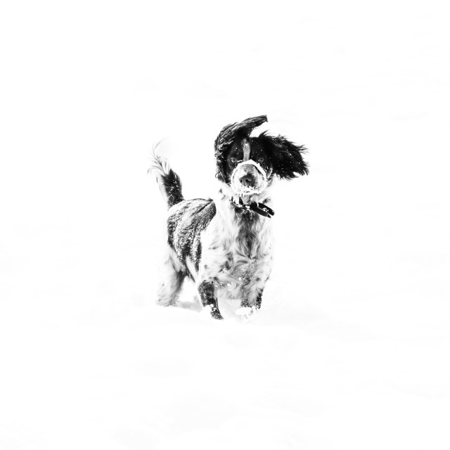 """Snow dog"" stock image"