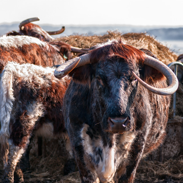 """English Longhorn cattle"" stock image"