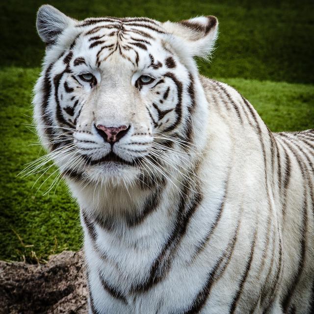 """White Tiger."" stock image"