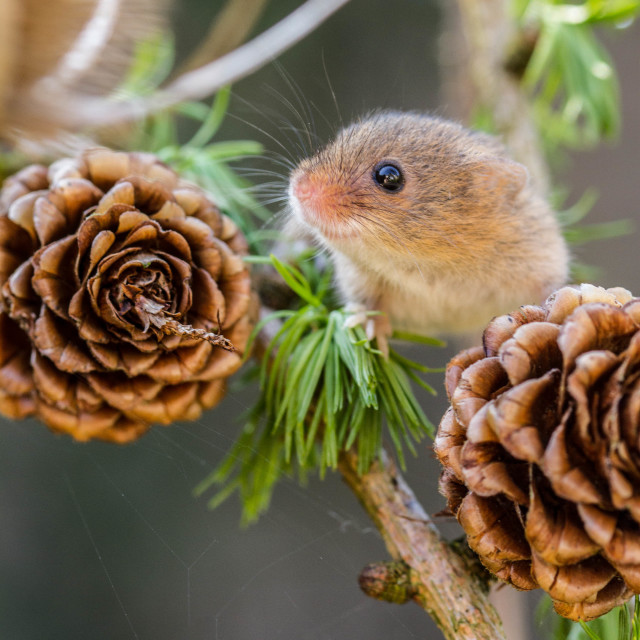 """Pine Mouse"" stock image"
