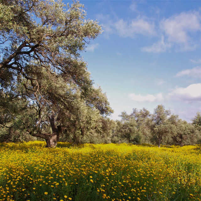 """""""The Old Olive Grove 2"""" stock image"""