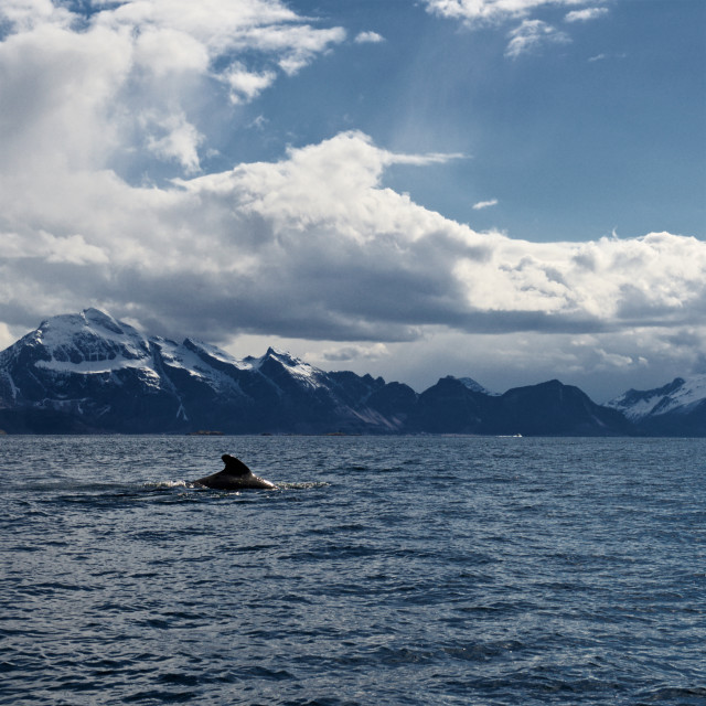 """Whale surfacing in Norway"" stock image"
