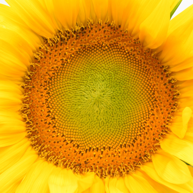 """Sunflower"" stock image"